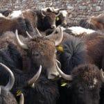 le pays des yacks