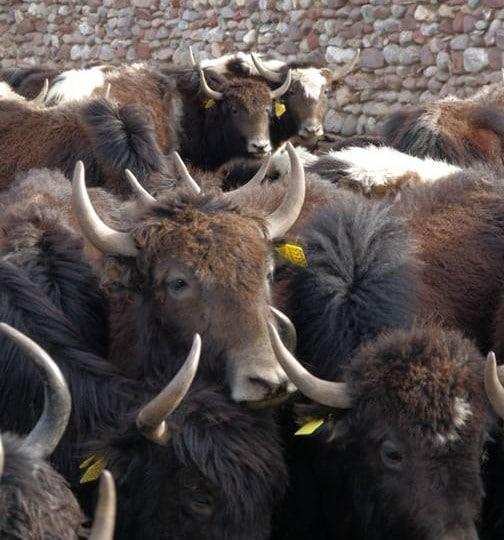 enclos de yacks