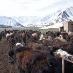 sortie des yacks