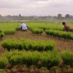 Voyage preparation des plants de riz