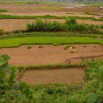 Voyage champs de poues de riz