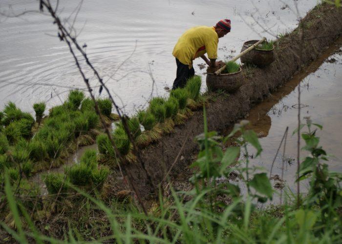 laos riziere