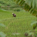 rizieres de Vieng Thong