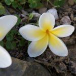 fleur de frangipanier embleme de la RDP Laos