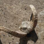 corne de mouton