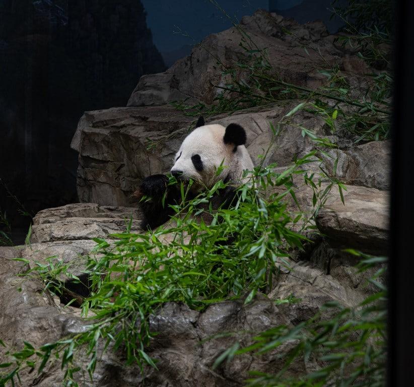 Panda geant à Chaengdu